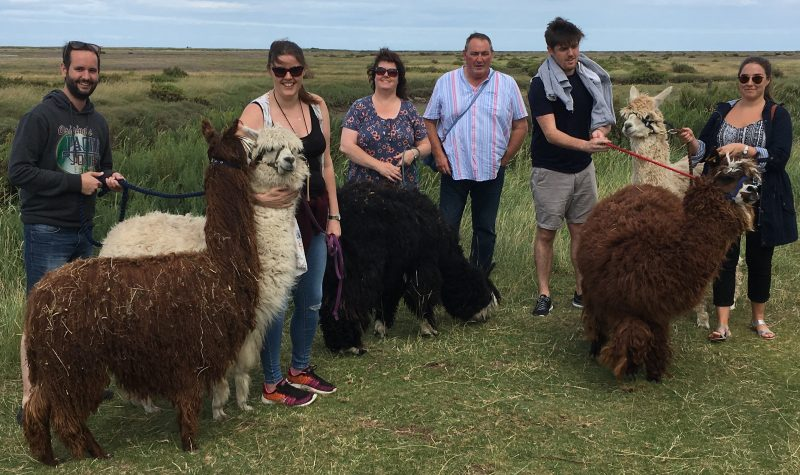 Alpaca trekking in Wells-next-the-sea!